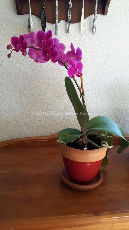 Healthy Phaelenopsis orchic