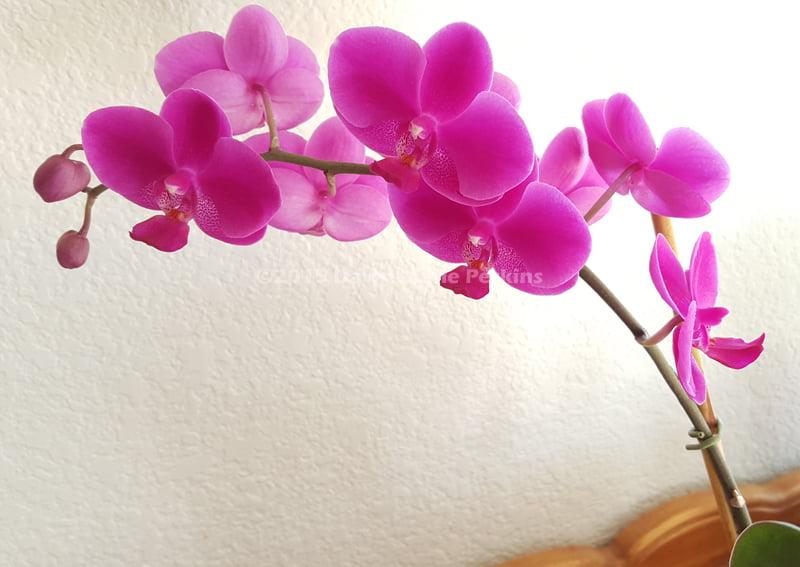 Phaelenopsis blooms