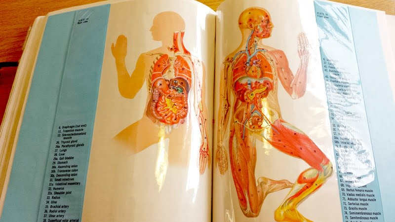 Illustrations of two human bodies, showing organs, blood vessels, muscles, tendons, and skeletal structure.